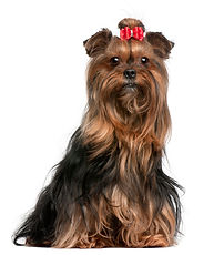 yorkshire-terrier-wearing-red-bow-9-year