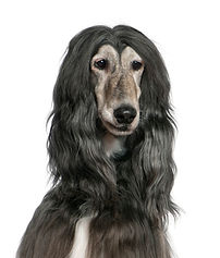 close-up-afghan-hound-7-years-old-front-