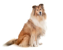 rough-collie-isolated_87557-12964.jpg