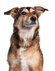 close-up-mixed-breed-dog-4-years-old_191