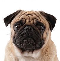 pug-dog-isolated-white-background_2829-1
