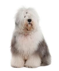 english-sheepdog-year-d-sitting_191971-3
