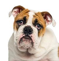 close-up-english-bulldog-puppy-looking-d