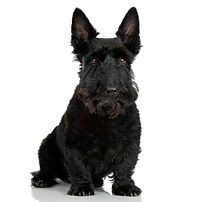 scottish-terrier-with-9-years-dog-portra