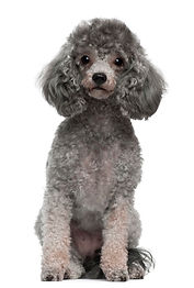 poodle-with-4-years-old-dog-portrait-iso