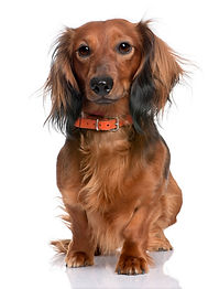 dachshund_191971-1494.jpg