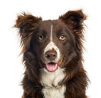 close-up-border-collie-panting-isolated-