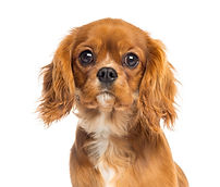 close-up-cavalier-king-charles-spaniel-p