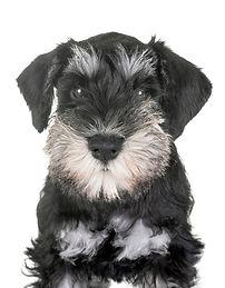 puppy-miniature-schnauzer_87557-2100.jpg