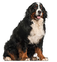 bernese-mountain-dog-20-months-old-sitti