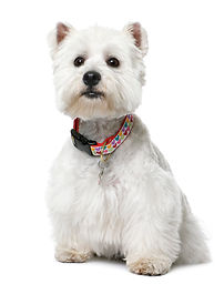 west-highland-white-terrier-yeard-sittin