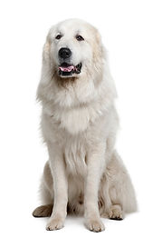 great-pyreness-pyrenean-mountain-dog_191