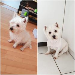 Coiffeur West Highland White Terrier