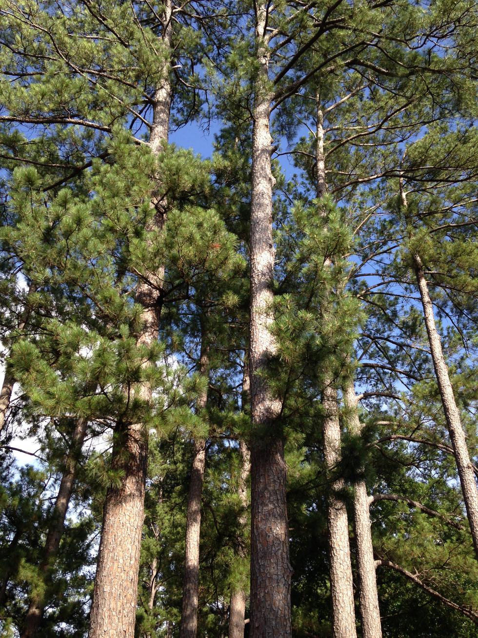 Louisiana Woods