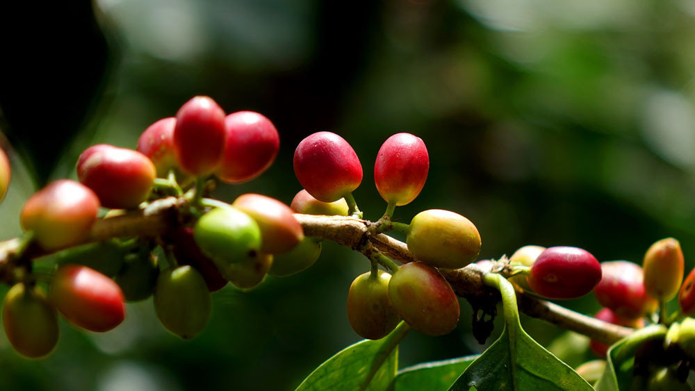 Lampocoy Grand Cru | Kaffeekirschen