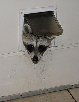 raccoon in doggie door.jpg