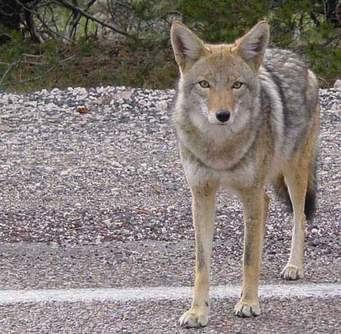 Urban Coyote Photo.jpg