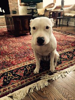 Sweet white Pitbull mix staring into camera