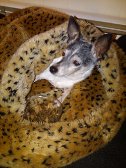 Tiny Toy Fox Terrier in furry sack bed