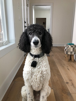 Standard Poodle staring into camera
