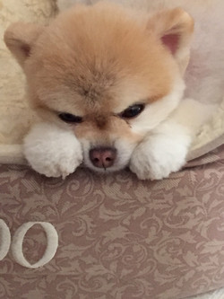 Toy Pomeranian cuddled in bed