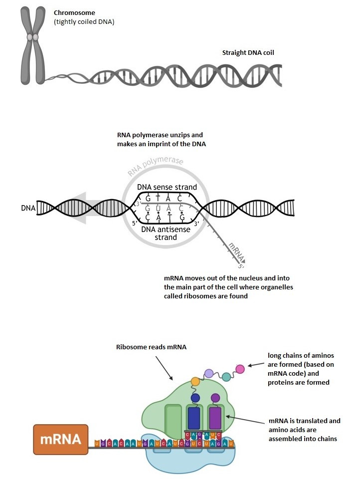 Diagram showing creation of MRNA