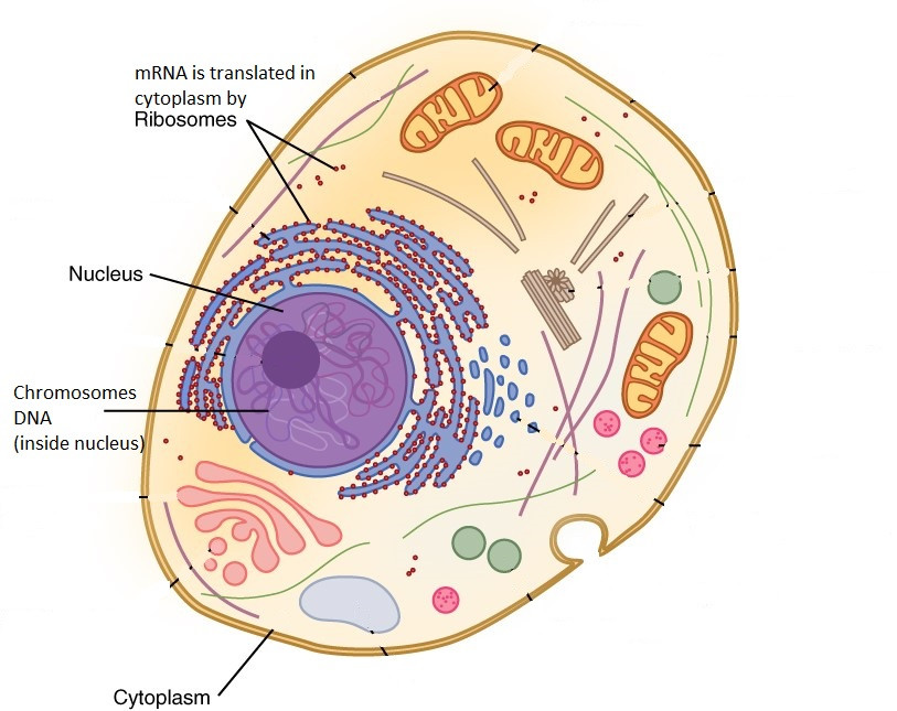 picture of cell showing nucleus genes and ribosomes