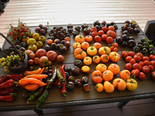 Как я провел лето с томатами