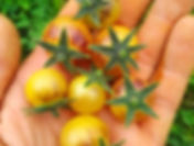 Мелкоплодные сорта томата, черри, мзиньчики, пальчики, вишни, слдкие черри