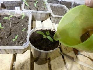 Готовим землю, проращиваем, пикируем томаты