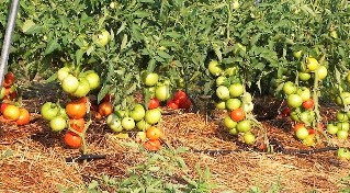 Схема посадки томата, виды томата, формирование куста.