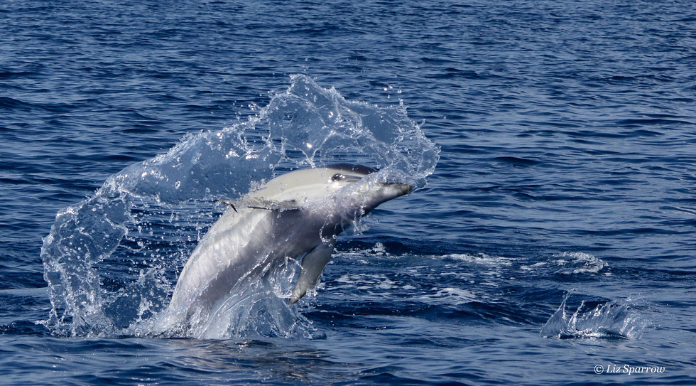 Common Dolphin Playing.jpg