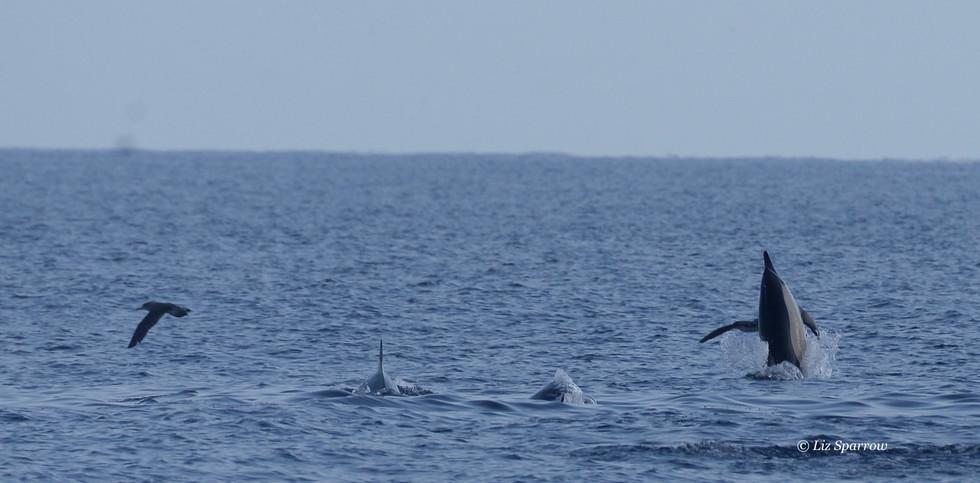 Common Dolphins Body Slamming.jpg