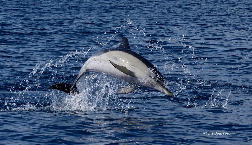 Common Dolphin.jpg