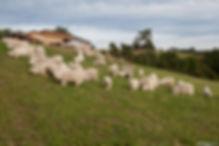 Troupeau chèvres Angoras