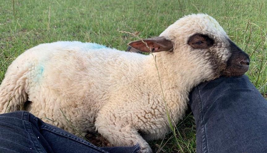 A friendly lamb
