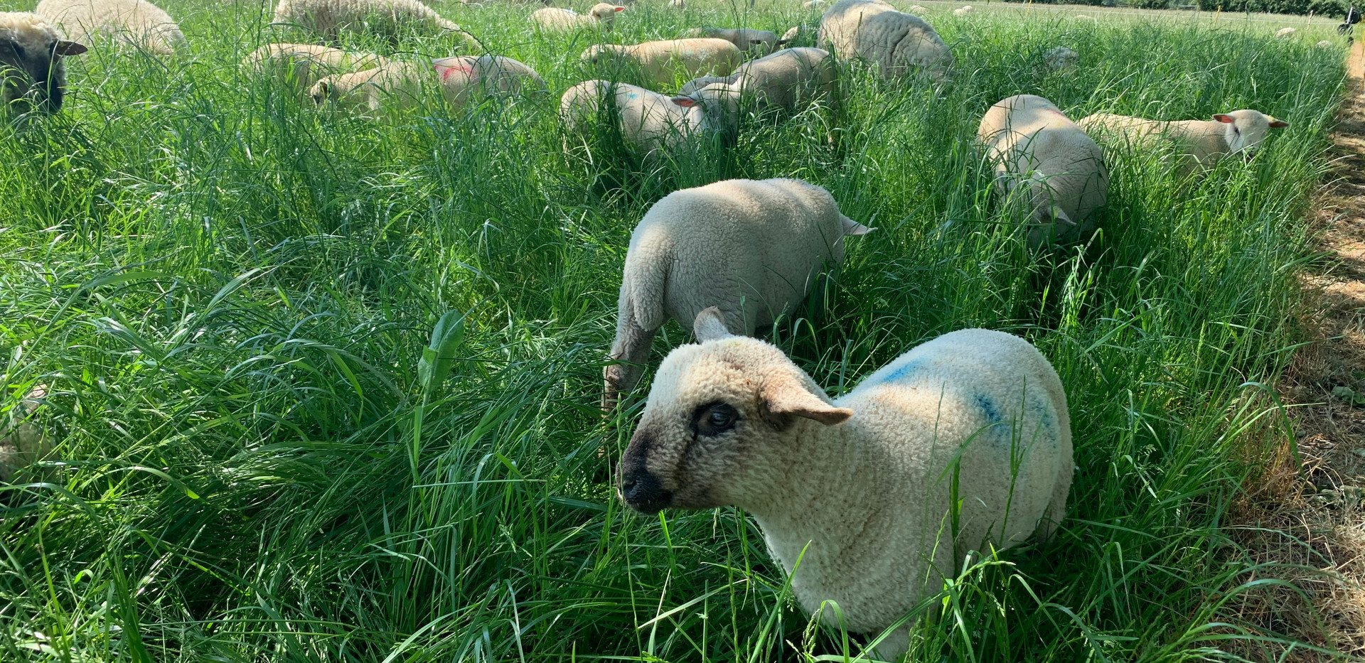 Young lambs & their mothers in the herbal ley
