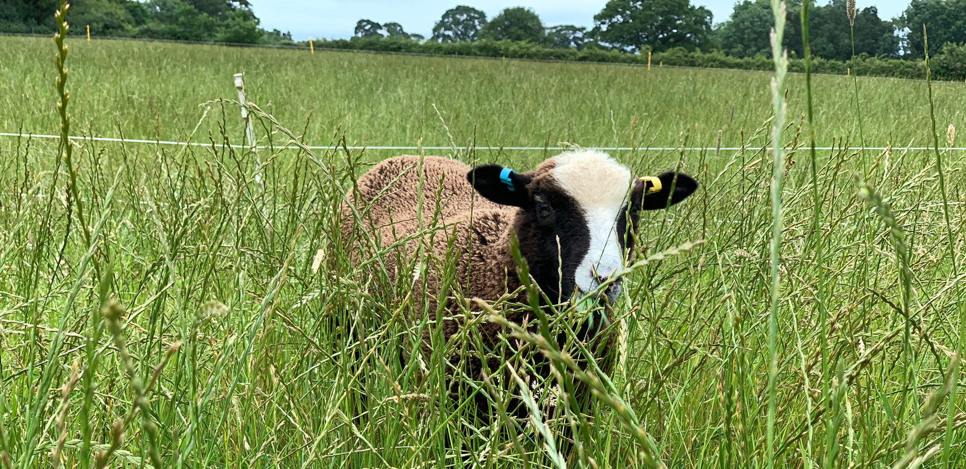 One of the four black lambs