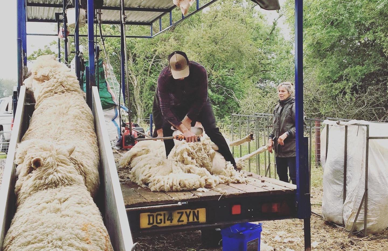Shearing day