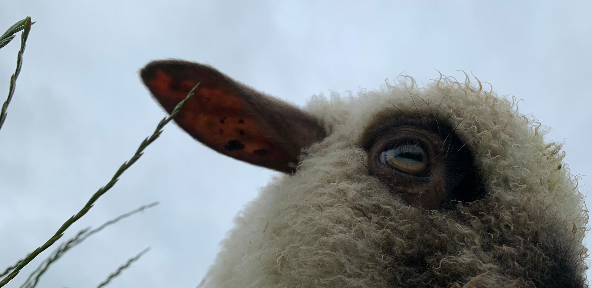 Very friendly lamb