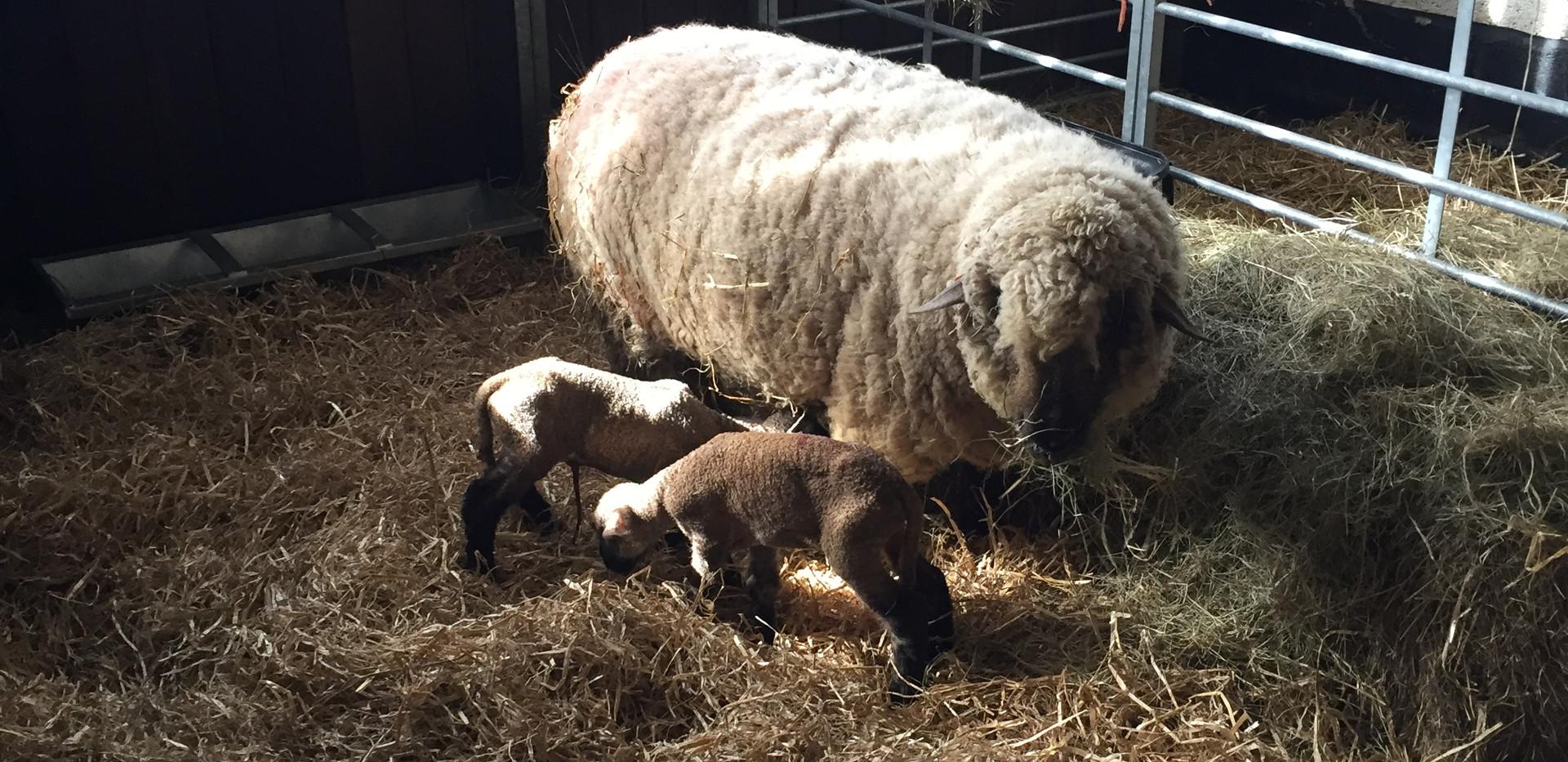Dorset Down new born twins