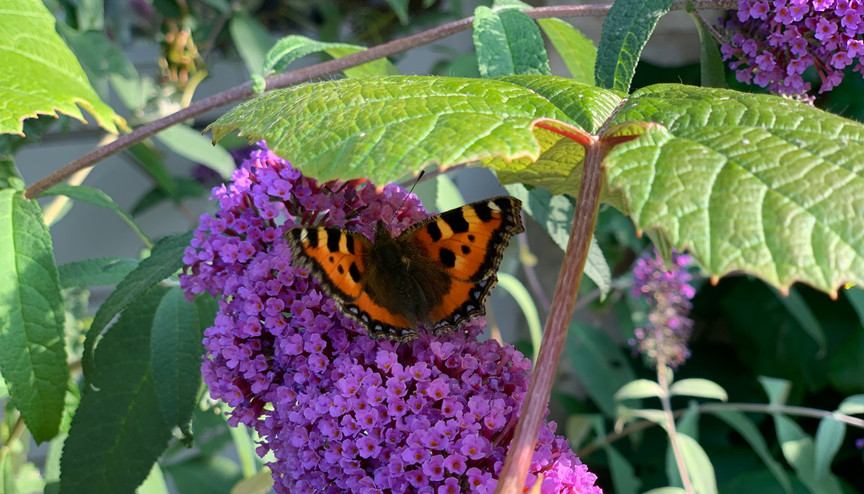 Large tortoishell butterfly
