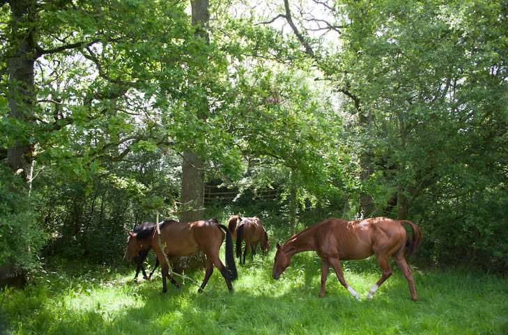 Horses in their summer grazing