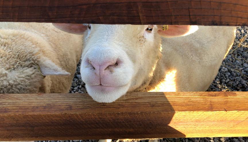 Poll Dorset ewe