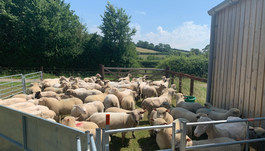 In the sheep pens