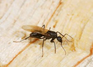 Termites, Powderpost Beetles, Carpenter Ants, Oh My!