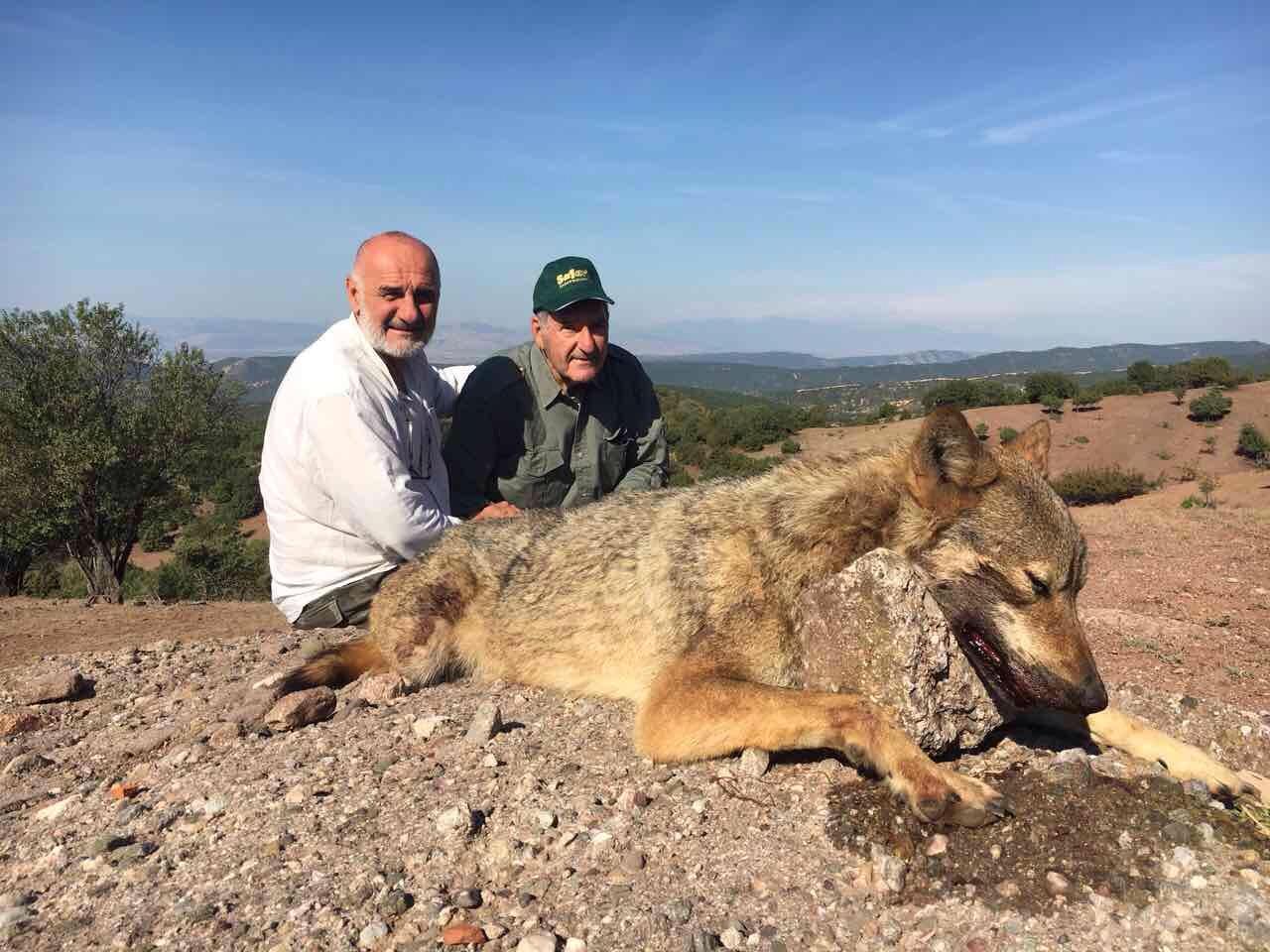European Grey Wolf in Summer