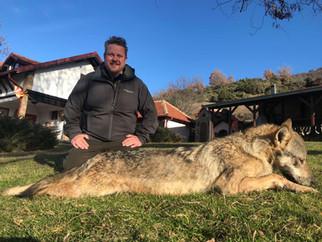 Wolf hunting in Macedonia