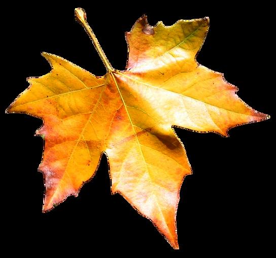 soyet,leaf
