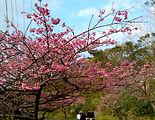沖縄 桜,沖縄移住,沖縄 観光